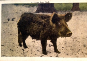 Another historic post card with a wild pig or sow. (Thurlow Collection)