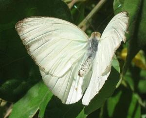 Great Southern Butterfly, public photo.