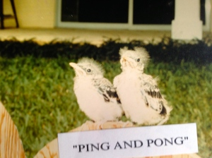 Ping and Pong who we raised after they fell out of a nest.