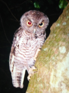 Screech owl in our yard.