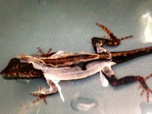 A lizard shedding its skin.