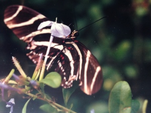 A Zebra butterfly and a butterfly plant planted to attract them.