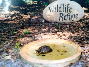 A box turtle in the bird bath.