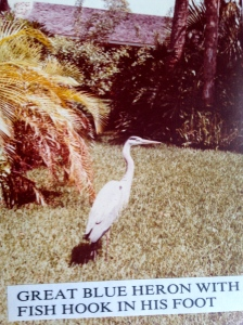 A blue heron we took to the vet due to hook in its leg. It was returned to the wild.