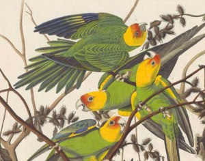 Carolina Parakeet drawing 1800s. Public image.