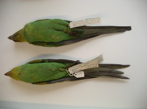 Chapman's birds, Museum of Natural History. (Paul Grey)
