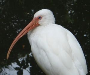 White Ibis, Bird Island, Greg Braun.