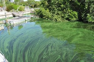 Toxic alge SLR, photo Mary Ratabaugh 2013.
