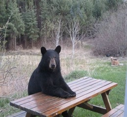 Bear sitting at picnic table, a popular image from Facebook, 2014.