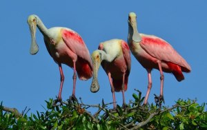 Roseate spoonbill photo from my Greg Braun/Bird Island file, 2013.