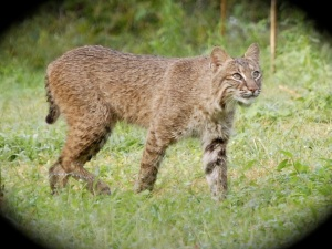 Bobcat, Sewall's Point, 2008. Photo courtesy of Jackie Pearson.