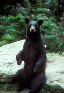 Black Bear public image.