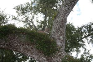 Bobcat up in oak tree, Sewall's Point, 2010, Beverly Beavis Jones.