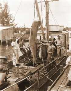 Shark catch at the commercial plant in Port Salerno, ca 1930s/1940s. (Photo courtesy of Sandra Henderson Thurlow)