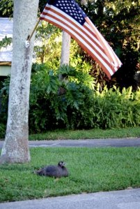 Wild turkey sitting under American Flag in Sewall's Point, 2008. JTL.