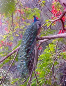 One of Frances Langford's peacocks in a royal poinciana tree on her estate.