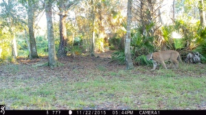 ....1744:112215:77F:0000:CAMERA1: Florida Panther walks through Martin County, Florida 11/22/15
