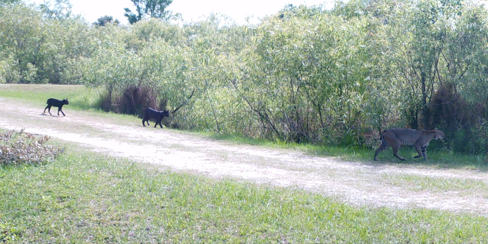 fwc jacqui thurlow lippisch black bobcat cubs following mother in western martin county on 4 11 16