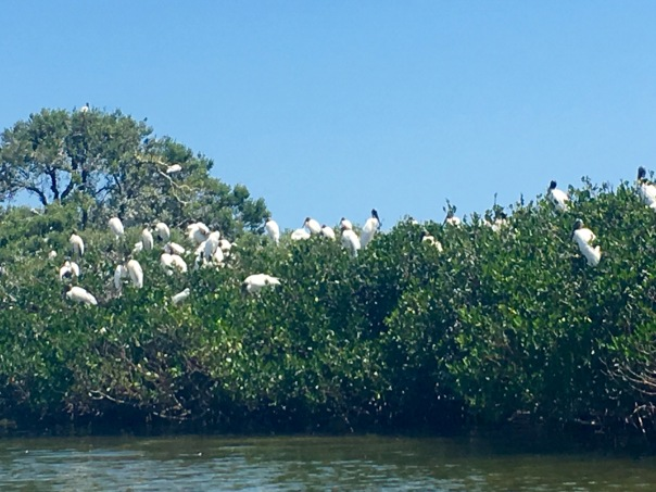 Happy wood storks on nests.