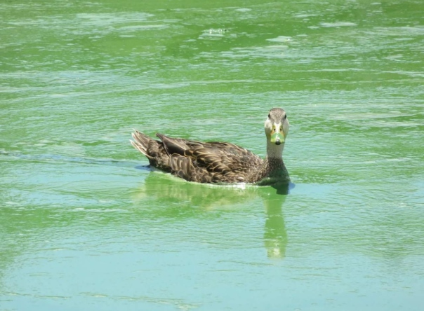 Duck in St Lucie River's bloom, Rebecca Fatzinger 6-24-16.