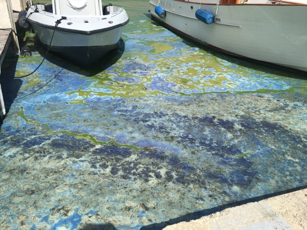 Green algae turning blue at Central Marina.