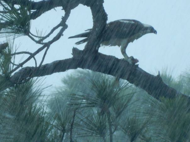 Osprey waits out rain to hunt below...