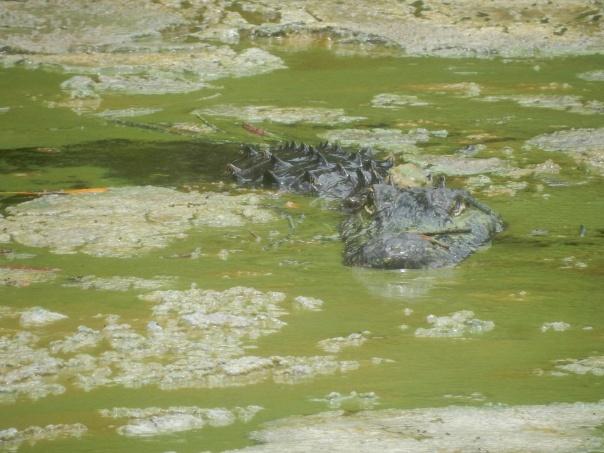 Alligator...