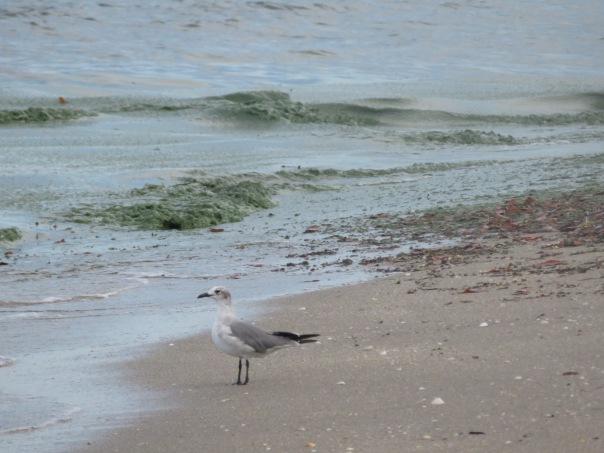 Seagull at on shoreline of Atlantic Ocean