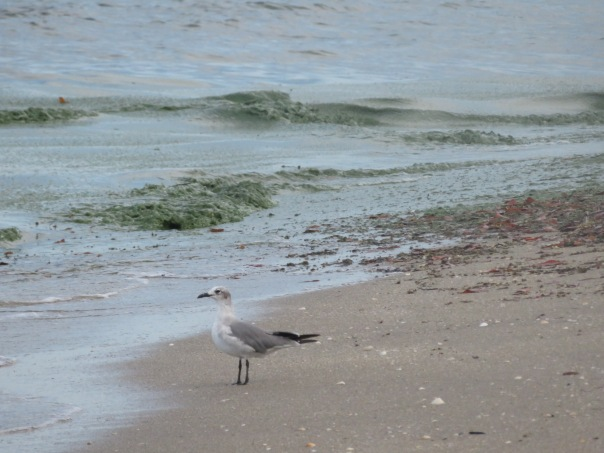 Seagull at on shoreline of Atlantic Ocean