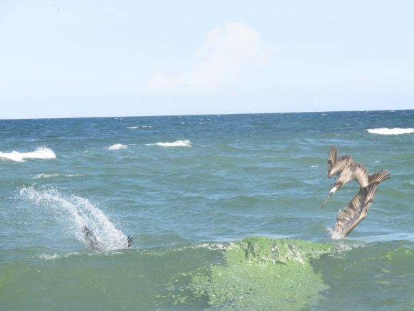 Pelicans diving in toxic algae--this bloom came back at from DEP 414 mpl.