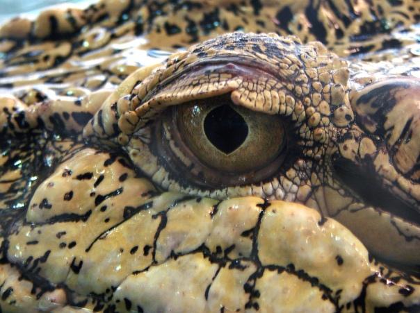 Crocodile_marin_Thoiry_19801
